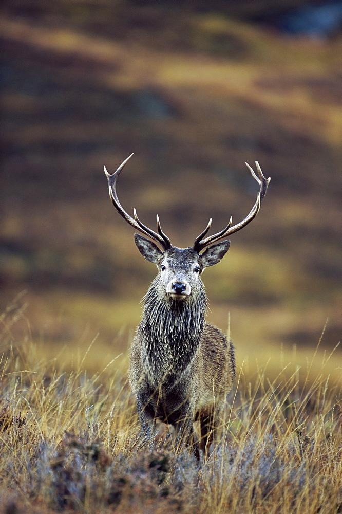 Red deer stag (Cervus elaphus) in autumn, Glen Strathfarrar, Inverness-shire, Highland Region, Scotland, United Kingdom, Europe - 743-284