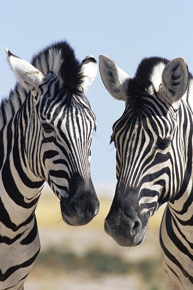 Two Burchell's zebra, Equus burchelli, Etosha National Park, Namibia, Africa - 743-29