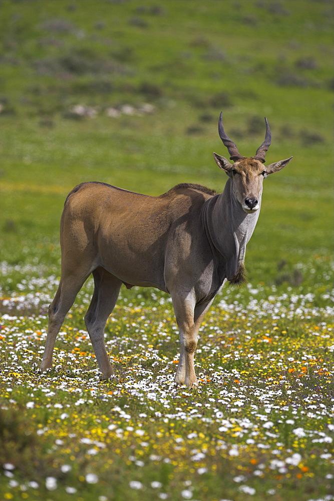 Eland, Taurotragus oryx, De Hoop nature reserve, Western Cape, South Africa, Africa