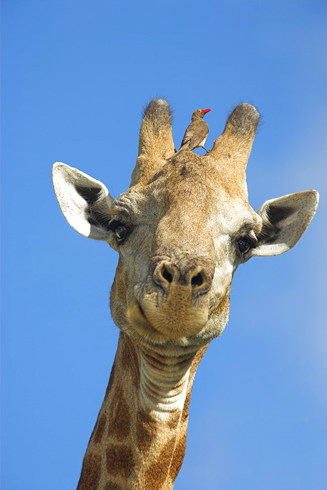 Giraffe, Giraffa camelopardalis, with redbilled oxpecker, Buphagus erythrorhynchus, in Kruger national park, Mpumalanga, South Africa