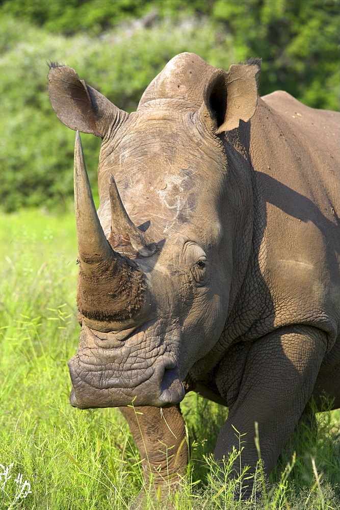 White rhino, Ceratotherium simum, in Pilanesberg game reseeve, North West Province, South Africa