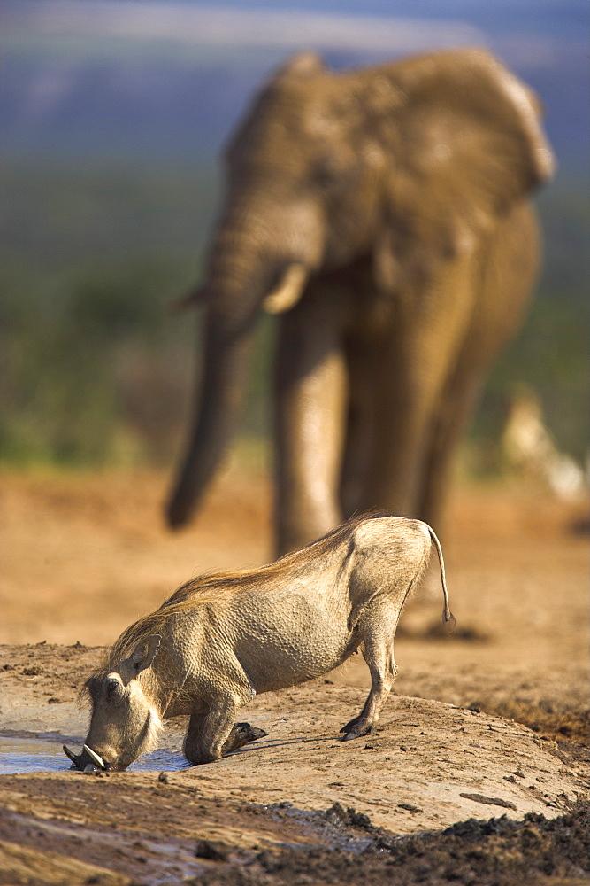 Warthog, Phacochoerus aethiopicus, Addo Elephant National Park, South Africa, Africa