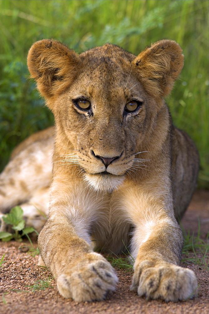 Lion cub, Panthera leo, in Kruger National Park Mpumalanga, South Africa