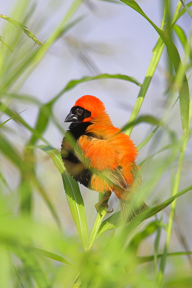 Southern red bishop (Euplectes orix), male in breeding plumage, Pilanesberg National Park, North West Game Reserve, South Africa, Africa