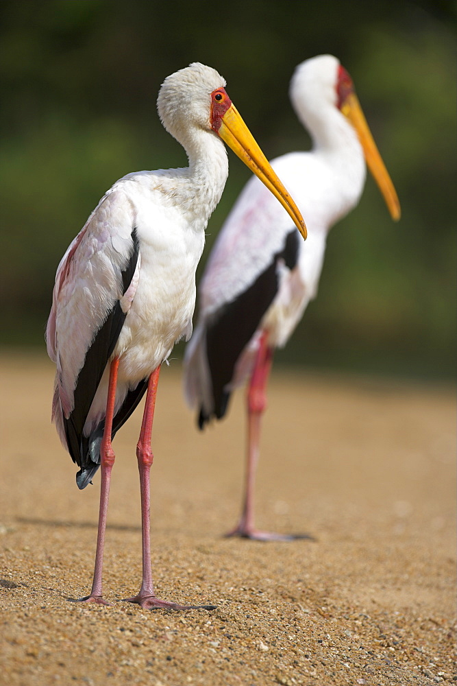 Yellow-billed storks (Mycteria ibis), in breeding plumage on riverbank, Kruger National Park, South Africa, Africa