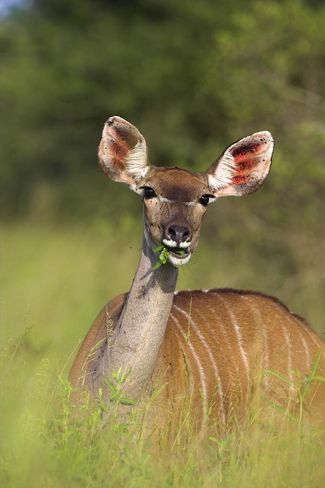 Greater kudu (Tragelaphus strepsiceros), female, Kruger National Park, South Africa, Africa