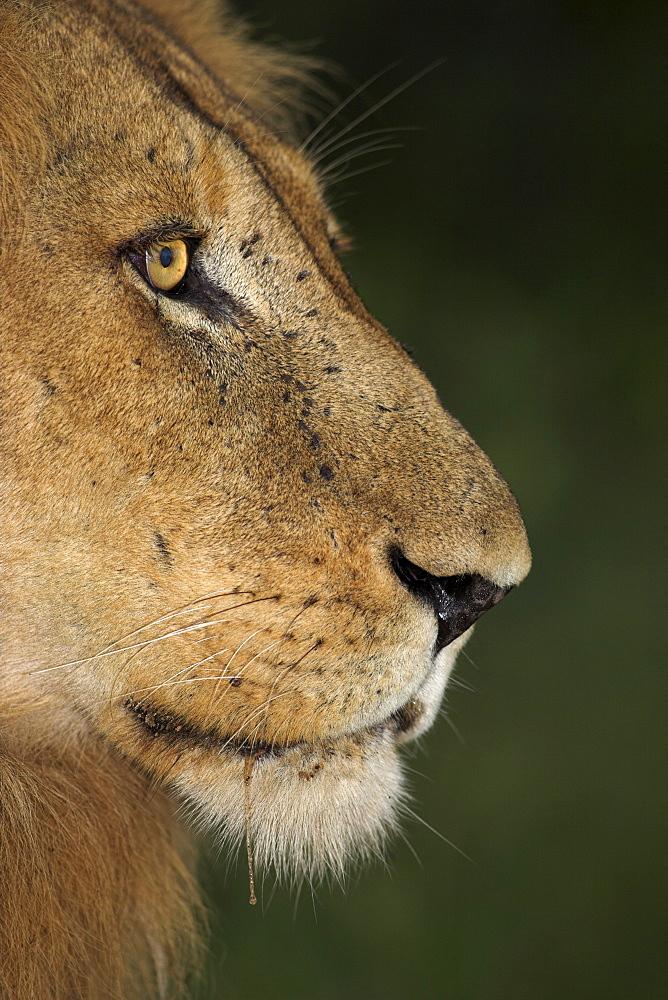 Lion (Panthera leo), Kruger National Park, South Africa, Africa - 743-485