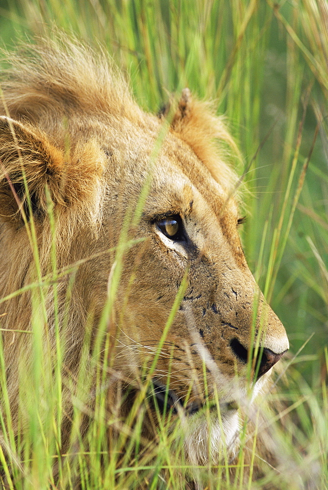 Male lion, Panthera leo, in the grass, Kruger National Park, South Africa, Africa