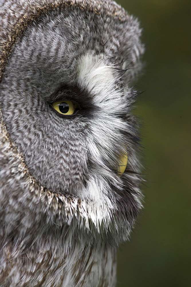 Portrait of a great grey owl (Strix nebulosa), captive, United Kingdom, Europe - 743-499
