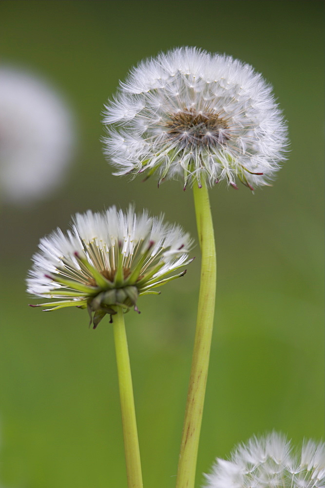 Dandelion seedheads (Taraxacum officinale), Cumbria, England, United Kingdom, Europe