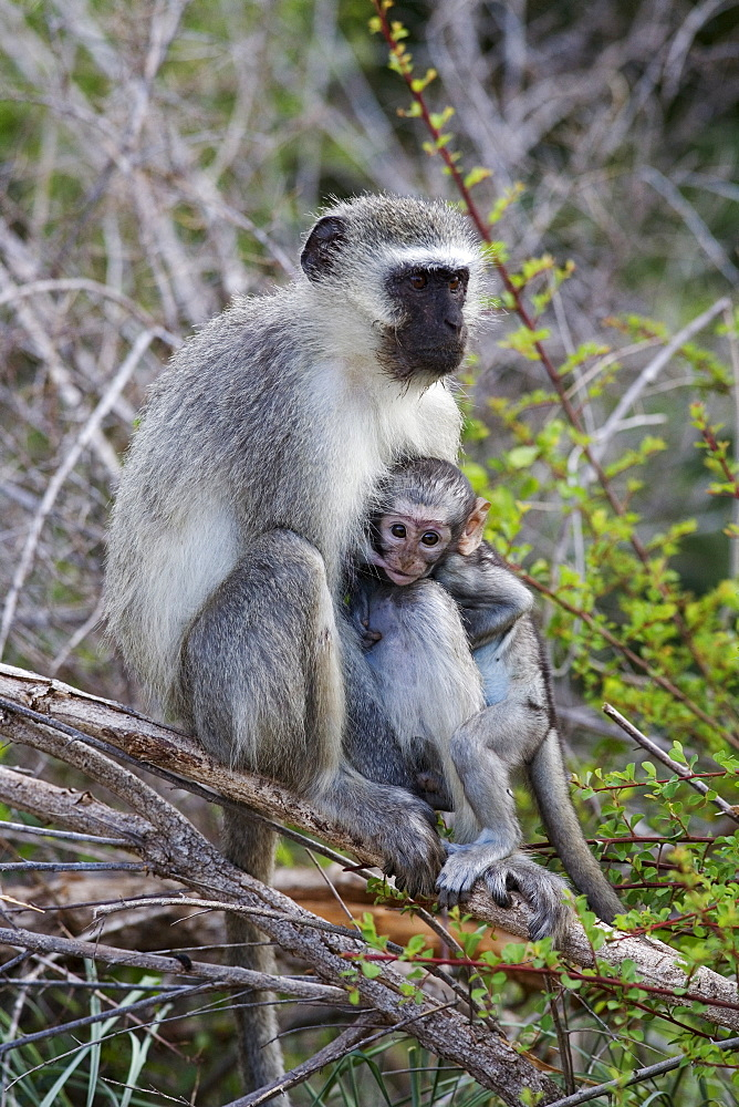 Vervet monkey (Cercopithecus aethiops), with baby, Kruger National Park, South Africa, Africa