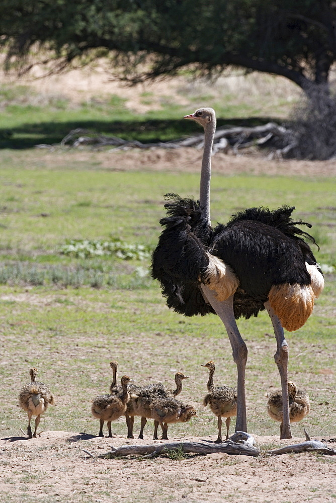 Ostrich (Struthio camelus), male with chicks, Kgalagadi Transfrontier Park, Northern Cape, South Africa, Africa