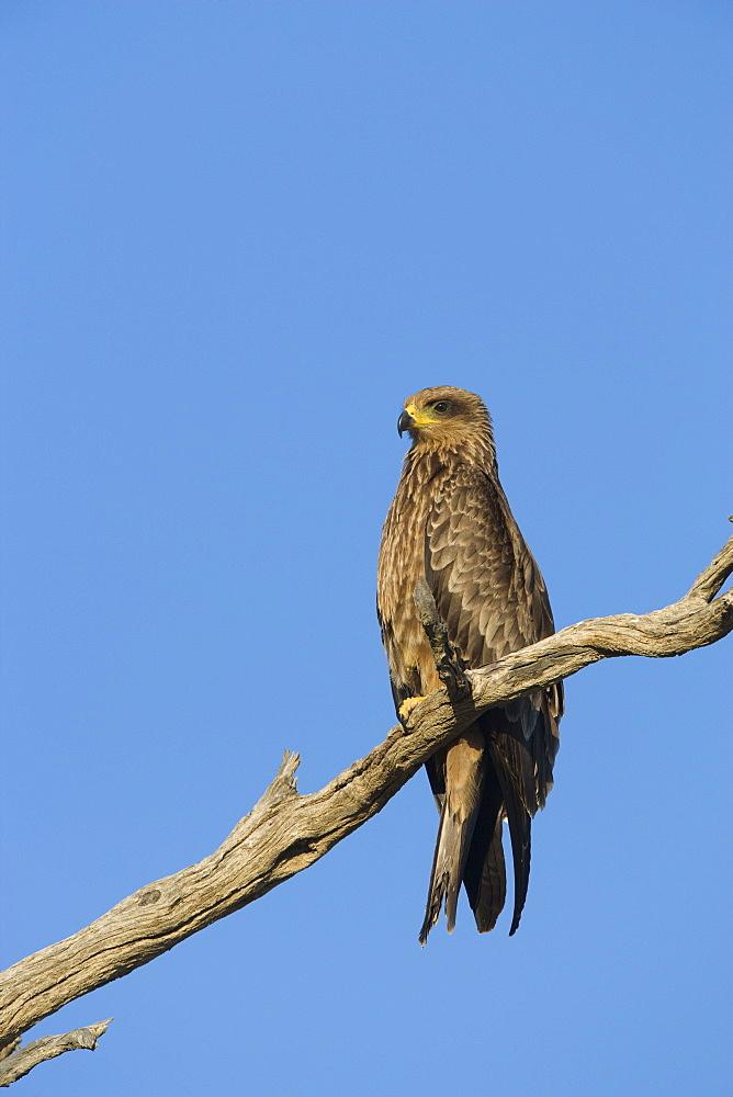 Black kite (Milvus migrans), Kgalagadi Transfrontier Park, South Africa, Africa