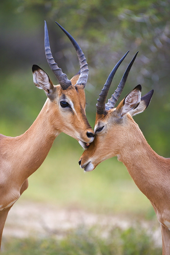 Impala (Aepyceros melampus), males allogrooming, Kruger National Park, Mpumalanga, South Africa, Africa - 743-639