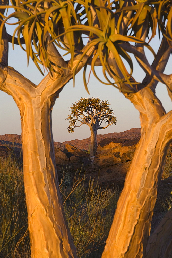 Quiver trees (kokerboom) (Aloe dichotoma), Augrabies Falls National Park, Northern Cape, South Africa, Africa - 743-682