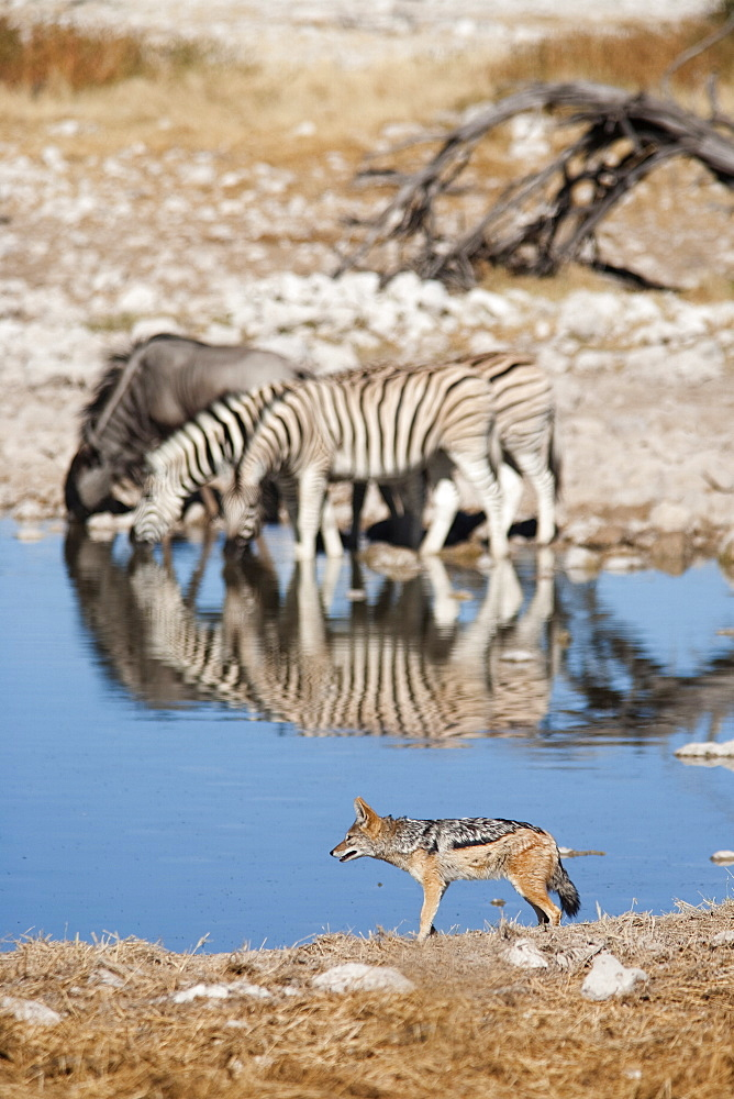 Blackbacked jackal (Canis mesomelas), Okaukuejo waterhole, Etosha National Park, Namibia, Africa