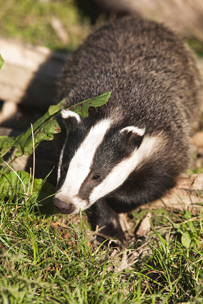 Badger, United Kingdom, Europe