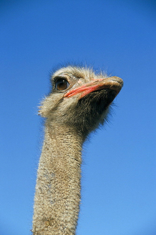 Ostrich (Struthio camelus), captive in ostrich breeding farm, Cumbria, England, United Kingdom, Europe