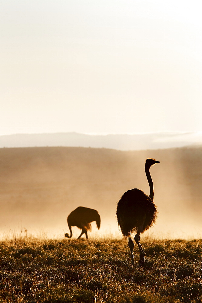 Ostrich (Struthio camelus), in morning mist, Mountain Zebra National Park, Eastern Cape, South Africa, Africa