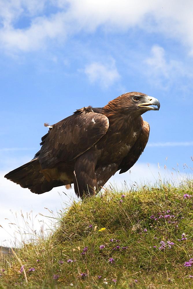 Golden eagle (Aquila chrysaetos), captive, United Kingdom, Europe