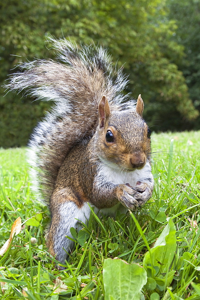 Grey squirrel (Sciurus carolinensis), in city park, Brandon Park, Bristol, England, United Kingdom, Europe