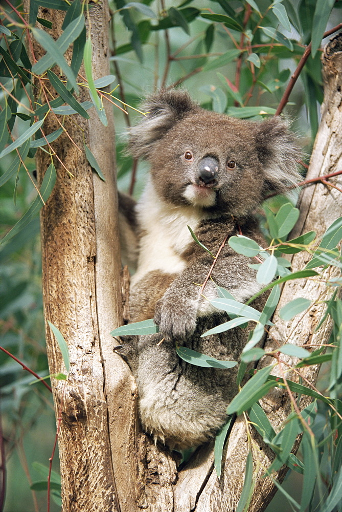 Koala bear, Phascolarctos cinereus, among eucalypt leaves, Gorge Wildlife Park, South Australia, Australia, Pacific