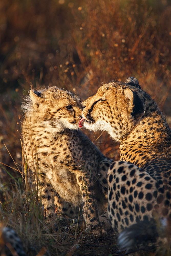 Cheetah (Acinonyx jubatus) with cub, Phinda private game reserve, Kwazulu Natal, South Africa, Africa