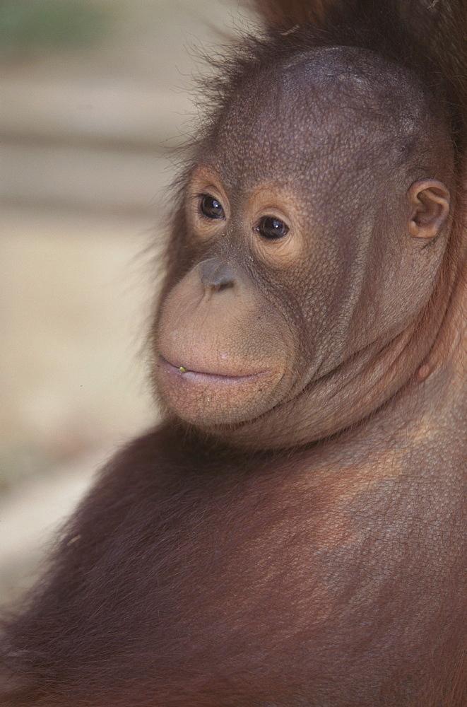 Orang-utan baby, Borneo, Southeast Asia, Asia - 745-98