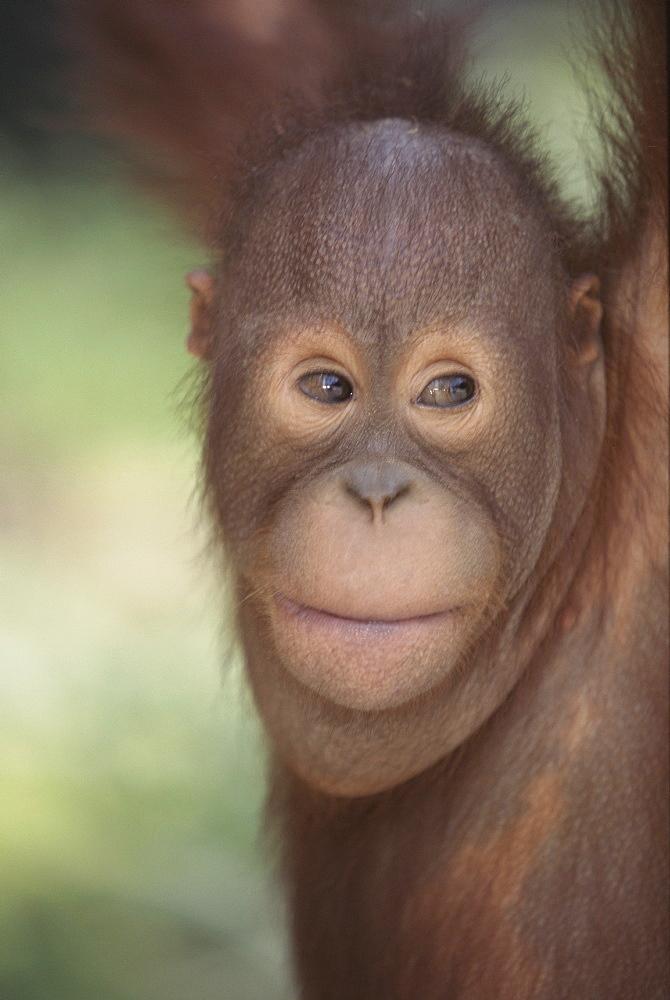 Orang-utan baby, Borneo, Southeast Asia, Asia - 745-99