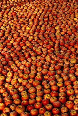 Annurca apples, Sant'agata De Goti, Campania, Italy