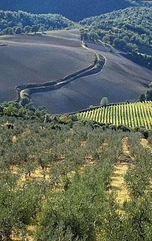 Vineyard, Montecchio, Umbria, Italy