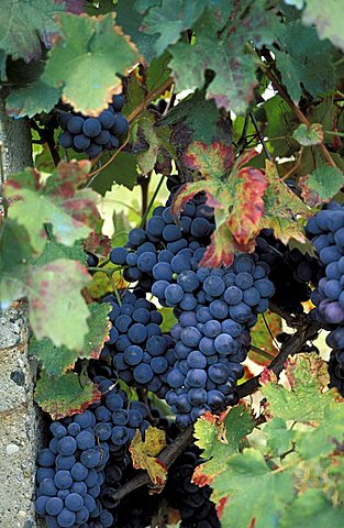 Grapes, Italy