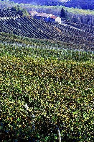 Barolo vineyard, La Morra, Piedmont, Italy.