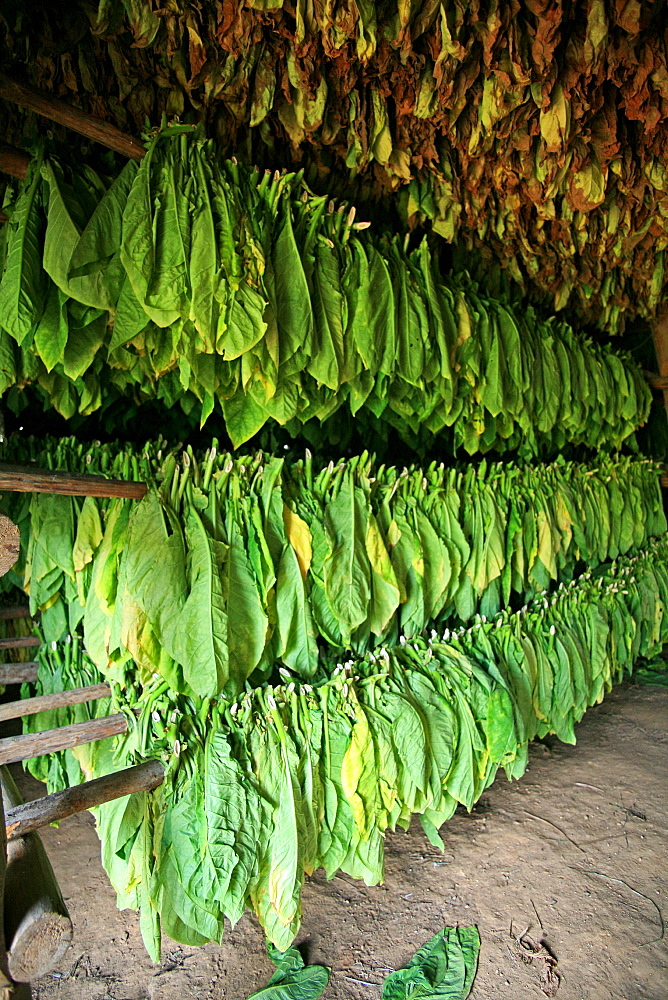 Tobacco's drying process, Vi, Vinales, Cuba, West Indies, Central America