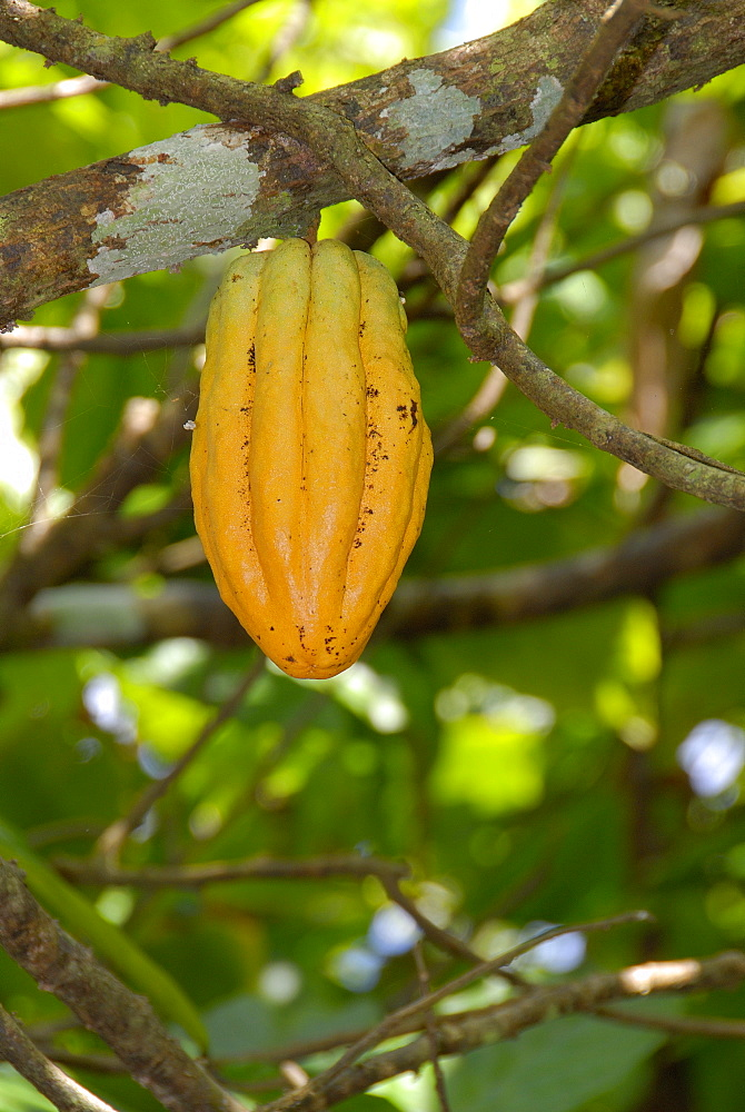 Cocoa fruit pod on tree, Dominican Republic, West Indies, Central America