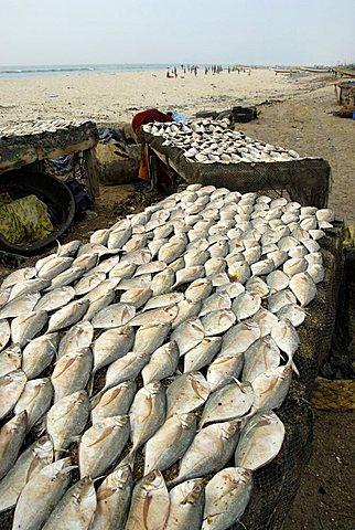 Fish processing, Saint-Louis, Republic of Senegal, Africa