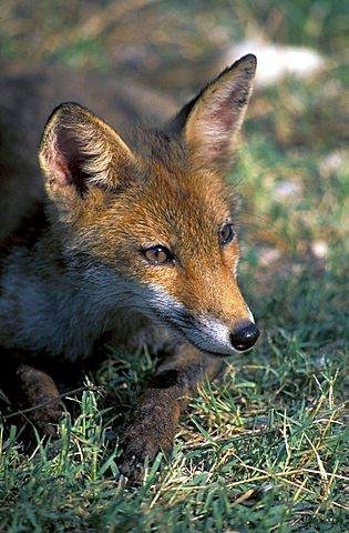 Fox, Italy