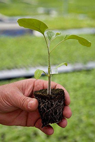 Little plant, Fratelli Corrado greenhouse, Torre Santa Susanna, Puglia, Italy