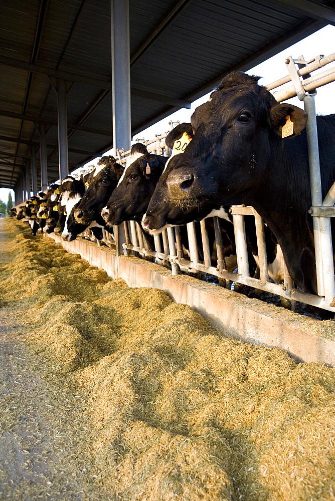 Cows, Pezzaviva farm, Torre Santa Susanna, Puglia, Italy