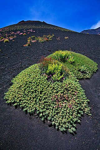 Local vegetation and lava on Etna volcano, Sicily, Italy