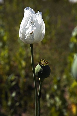 Opium-poppy flower, Sögütlü, Turkey, Europe