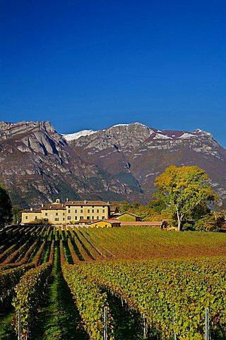 San Leonardo vineyard, Borghetto, Trentino Alto Adige, Italy, Europe