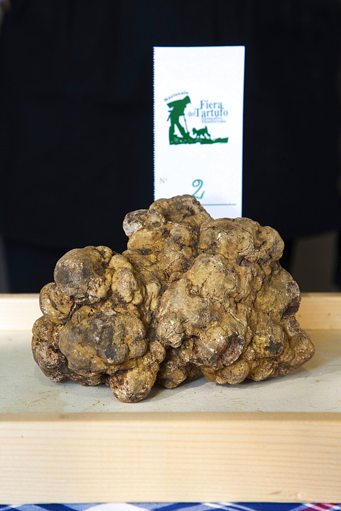 Moncalvo National  Truffle Fair, a nice  piece of white truffle (Tuber magnatum) taking part to the contest for the best one, Asti, Piedmont, Italy, Europe
