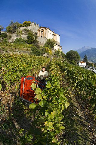 Vineyard La Source, Aymavilles, Aosta Valley, Italy, Europe