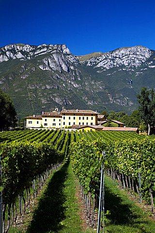 Wineyard, Tenuta San Leonardo, Marchese Guerrieri Gonzaga, Borghetto all'Adige, Vallagarina, Trentino Alto Adige, Italy, Europe