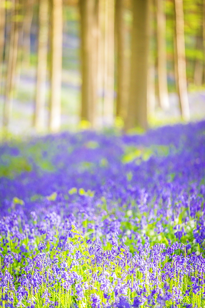 Beech forest full of blue bells flowers, Hallerbos, Halle, Vlaams Gewest, Brussels, Belgium, Europe