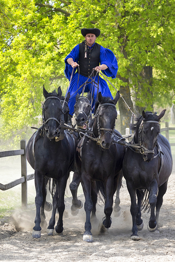 Traditional hungarian cowboy show in the Hortobagy NP. Local cowboy / horseman or Csikos in traditional attire performing the famous Puszta Five, driving a team of five horses standing on horseback. Europe, Eastern Europe, Hungary, April