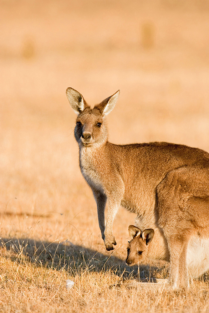 Eastern Grey Kangaroo or Forester Kangaroo (Macropus giganteus), female, mother with Joey looking out of pouch, Australia, Tasmania - 746-88439