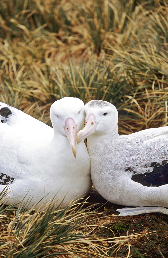 Wandering Albatross (Diomendea exulans) in courtship behaviour, Island of South Georgia