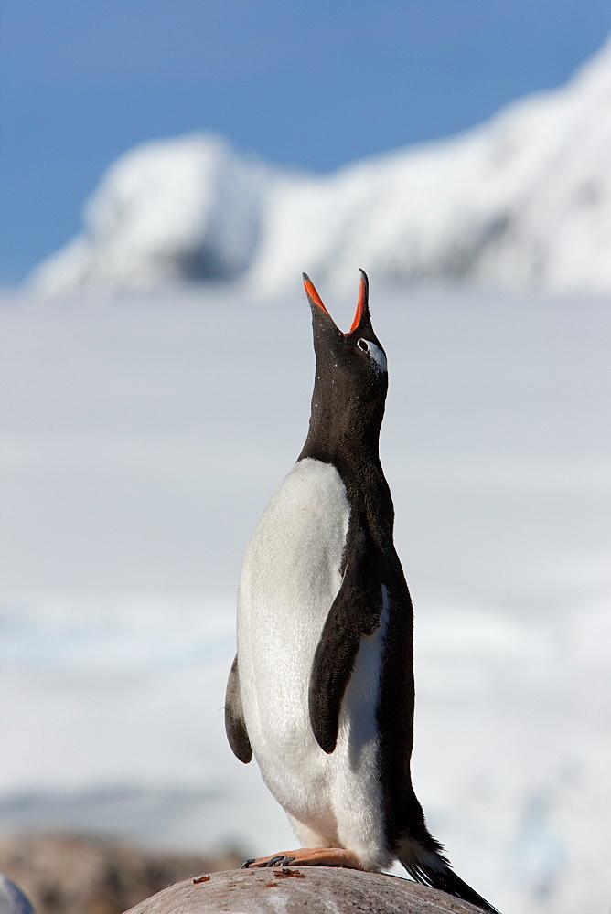 Gentoo penguin (Pygoscelis papua papua), Port Lockroy, Antarctic Peninsula, Antarctica, Polar Regions - 748-1233